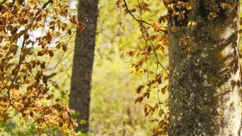Pyökki viihtyy Saarenmaalla. Kuvassa veripyökki - tavallisen pyökin punertava muoto (c) Timo Nuoranen