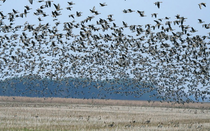 linnut hanhi