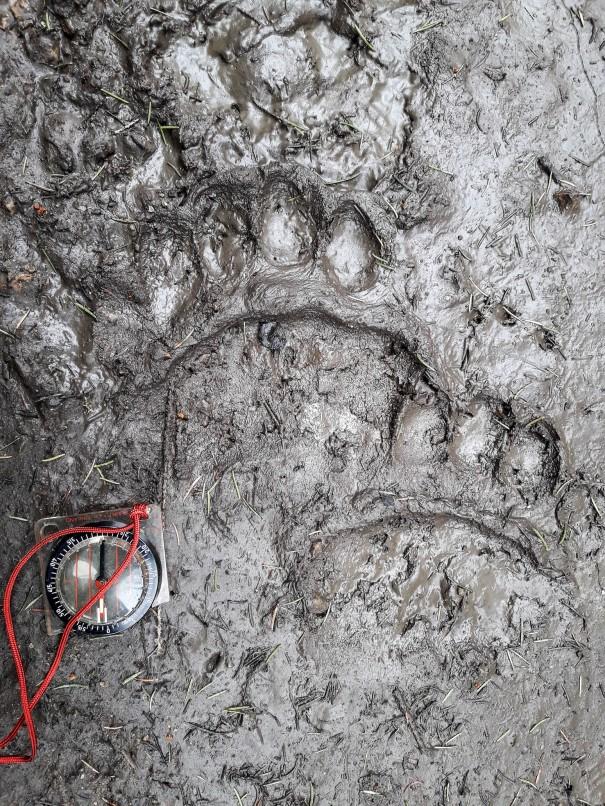 Tuoreet karhun jäljet (c) Timo Nuoranen