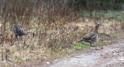 Metsoja näkee parhaiten keväällä aamuvarhaisella autoretkellä (c) Timo Nuoranen