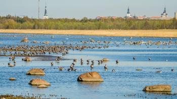 Keväällä lahti on hanhien suosiossa (c) Timo Nuoranen