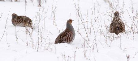 Peltopyy (Perdix perdix), Grey Partridge