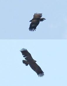 Kiljukotka (Aquila clanga) Gr. Spotted Eagle - (c) R. Lammin-Soila