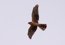 Arosuohaukka (Circus macrourus), Pallid Harrier, (c) R. Lammin-Soila