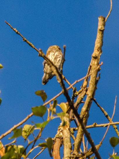 Varpuspöllö on mieltynyt alueen iäkkääseen puustoon (c) Timo Nuoranen