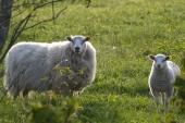 jota harventaa harva lammaskanta (c) Pentti Selin
