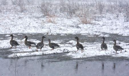 Metsähanhia (A.f.rossicus), Bean Goose - (c) R. Lammin-Soila