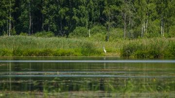 Jalohaikara on järven vakiolaji (c) Timo Nuoranen