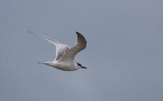 Riuttatiira, Sandwich Tern (c) Risto Lammin-Soila
