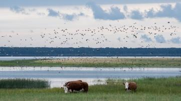 Kõinastun rantaa. Ilmassa ja rannalla tuhansia lintuja. (c) Timo Nuoranen