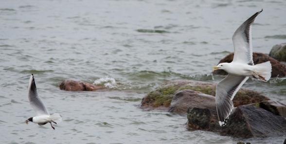 Lokit ja määrittämätön kalalaji (c) Timo Nuoranen