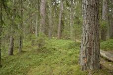 Iäkästä vanhaa metsää ..(c) Timo Nuoranen