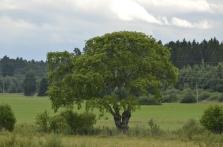 Yksi Viron suurimpia kynäjalavia Erulahden lintutornin kupeessa (c) Timo Nuoranen